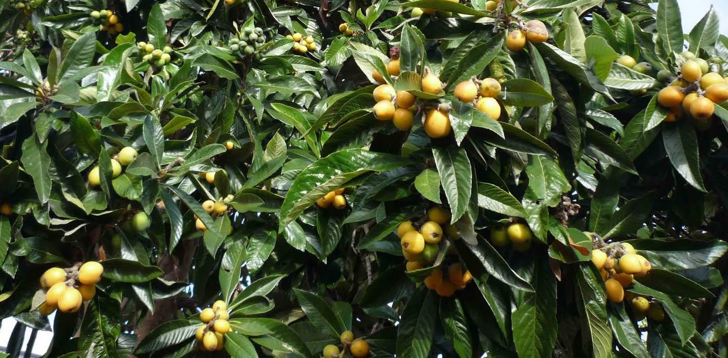 Loquat Tree   Medicinal Loquat Trees   Loquats For Food Plots ...