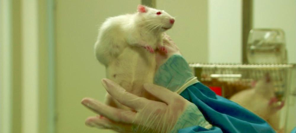 gmo-rat-study